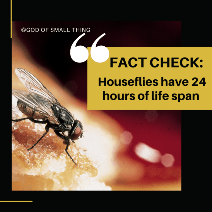 Fact Check: Houseflies have 24 hours of life span