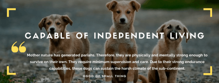 Qualities of Indian Pariah Dogs