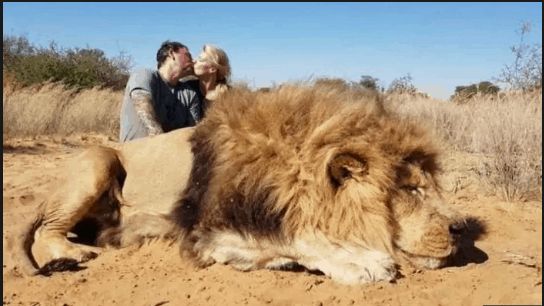 Canadian couple kissing next to hunted lion